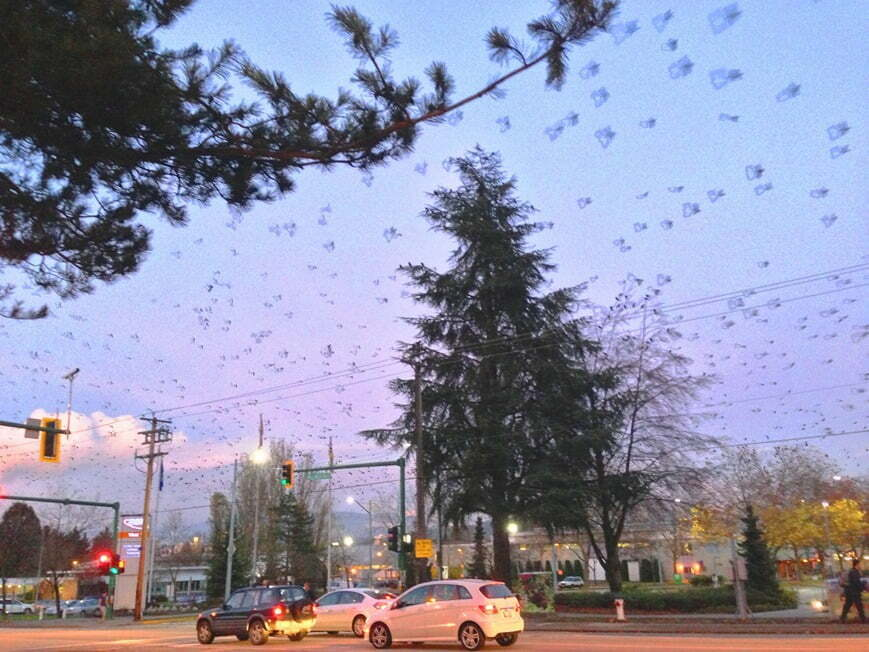 BCIT's famous squadron of crows is a frequent winter spectacle. Courtesy Kevin Murray, BCIT.