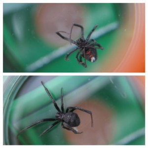 Black Widow spider found in fruit almost served to children at BCITSA's childcare centre Photos courtesy of Sue D'Altroy