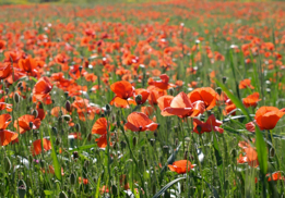 Poppies, Remembrance Day